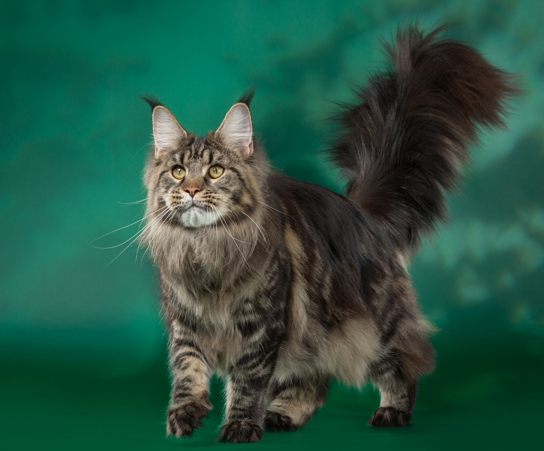 Картинки про кота мейн-куна