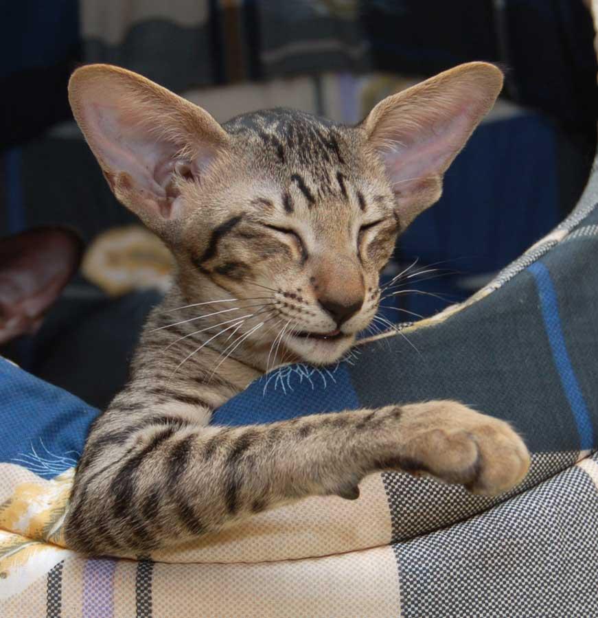 увидел талант порода котят с большими ушами фото начинают гонять