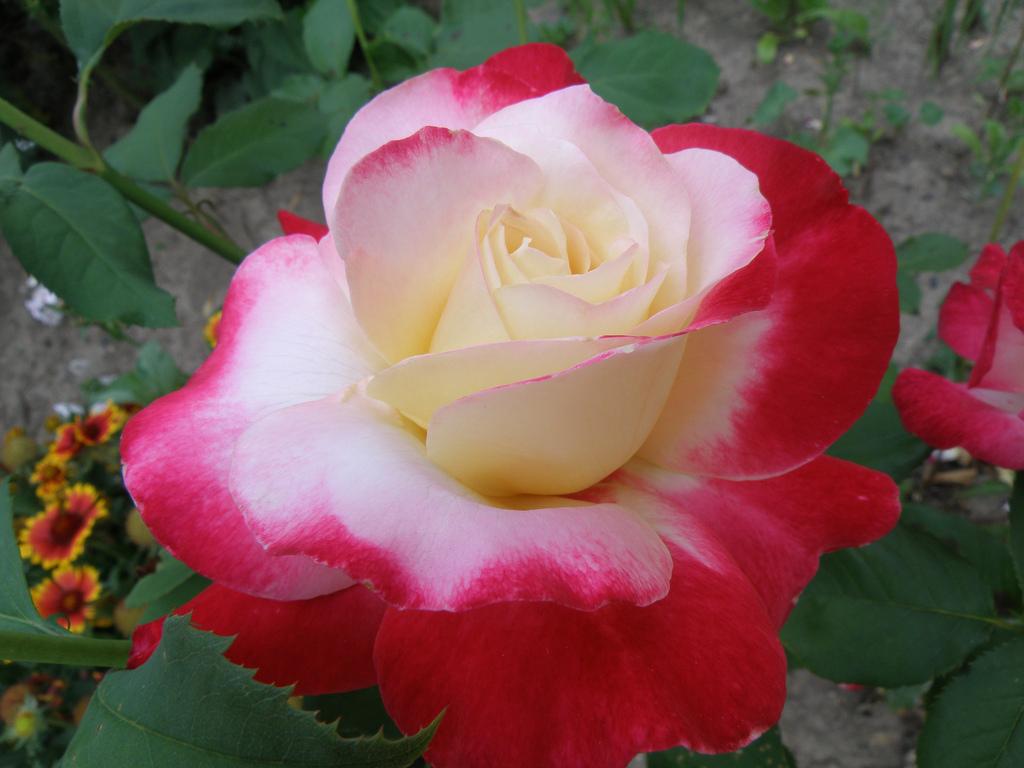 роза необычная фото