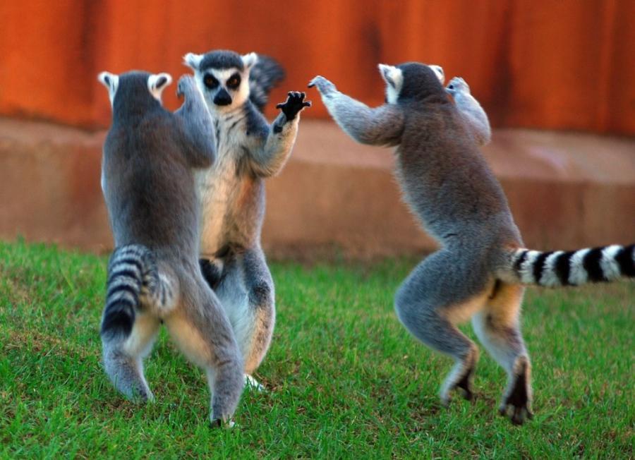 Топ-10 животных, которые любят танцевать