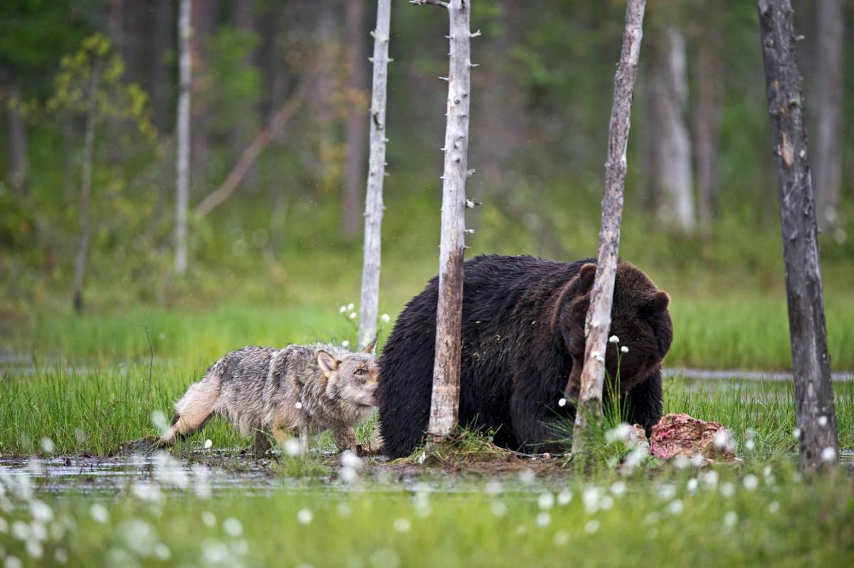 Какие животные способны справиться со стаей голодных волков