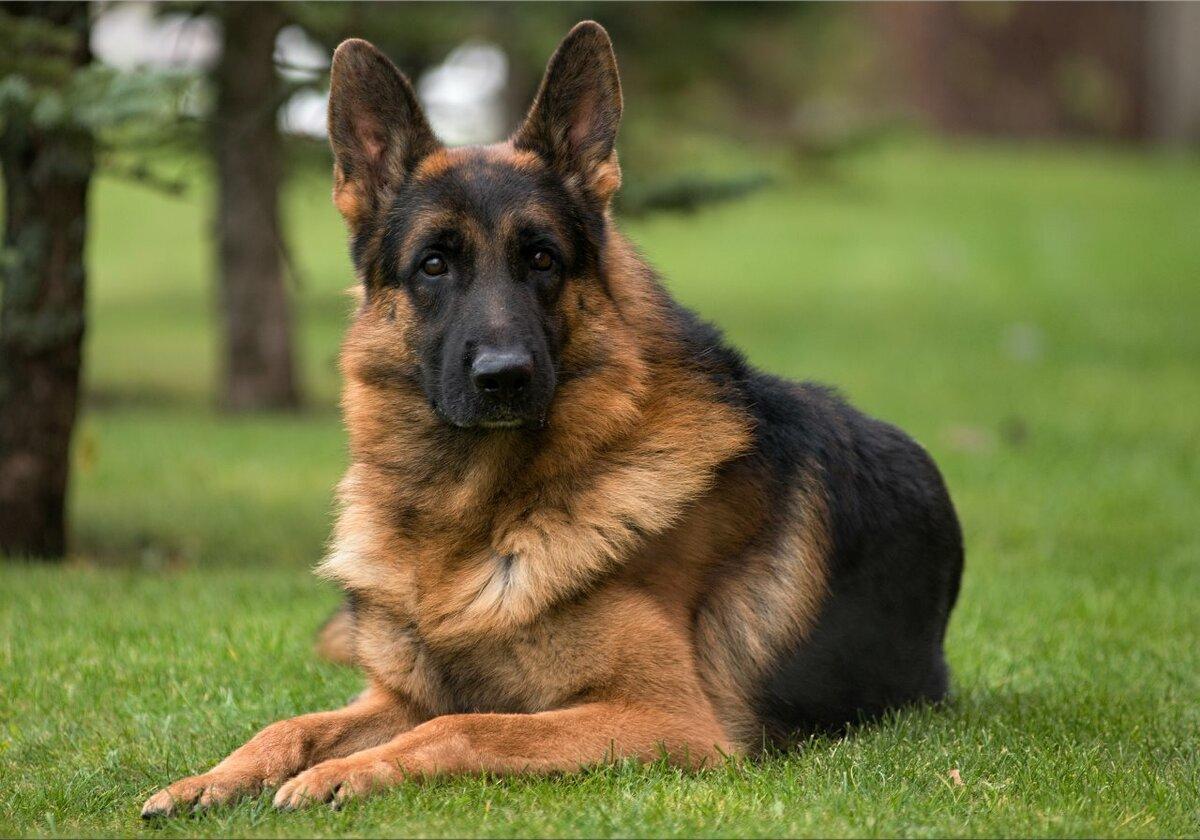 Надежные породы собак для охраны частного дома